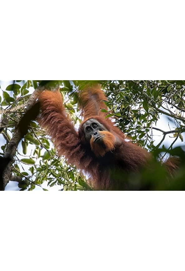Primates kapak